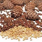 Осенние дары леса: кедровые орешки