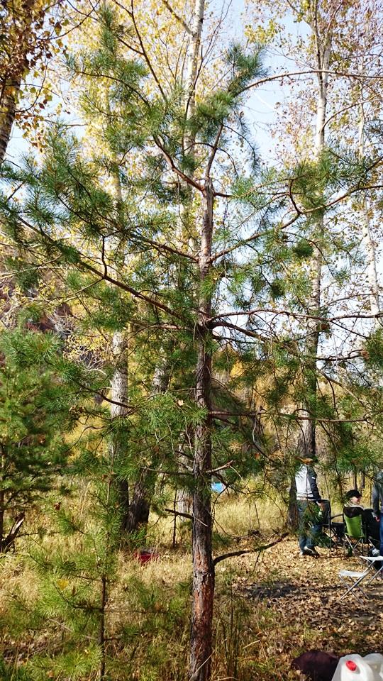 елка, сосна, пихта